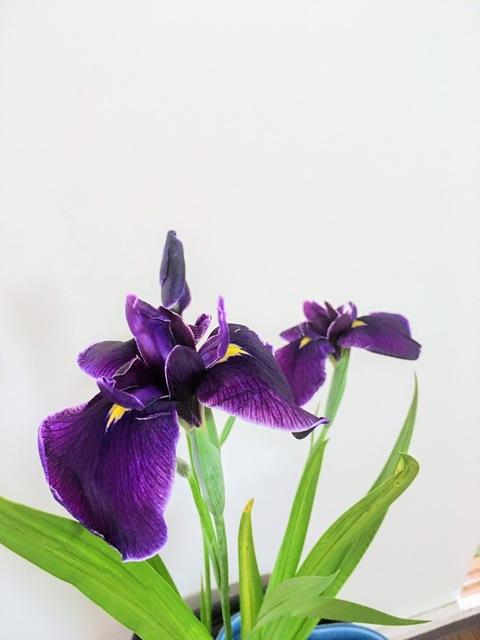 Japanese Iris-1  200505IMG_5684.JPG